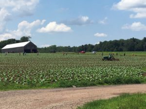Tobacco plants in Connecticut
